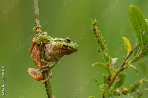 European green tree frog in the natural environment, close up, wildlife, nature, Canvas Print