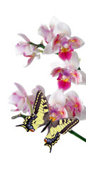 tropical nature. bright swallowtail butterfly on colorful orchid flowers isolated on white. orchid flowers close-up. beautiful colorful orchids. tropical flowers