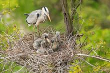 Grey Heron In The Natural Envi...