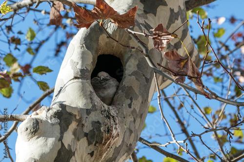 Photo Shy dove