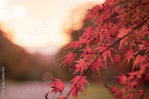 Photo 夕焼けともみじの葉 桜ヶ丘公園