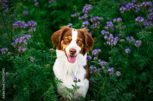 Obraz na plátně Hund im Blumenfeld