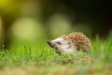 European Hedgehog In The Natural Environment, Close Up, Wildlife, Erinaceus Roumanicus, Erinaceus Europaeus