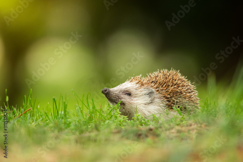 European hedgehog in the natural environment, close up, wildlife, Erinaceus roum Tableau sur Toile