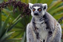 A Black And White Ring-tailed ...