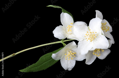 blossoming jasmine branch isolated on black фототапет