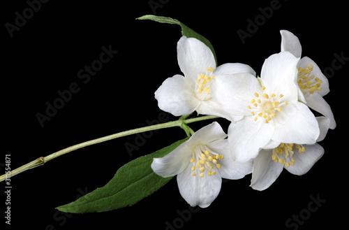 Платно blossoming jasmine branch isolated on black