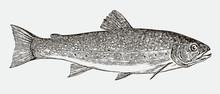 Brook Trout, Salvelinus Fontinalis In Side View After An Antique Engraving From The 19th Century