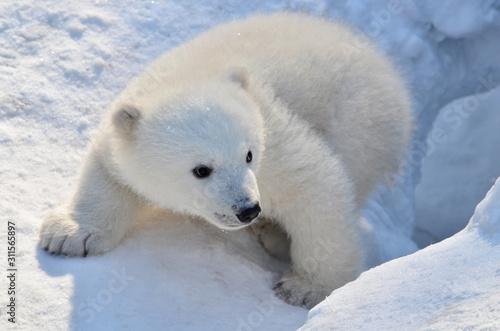 Fotografia polar bear