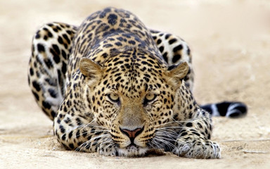 Fototapeta Pantera leopard in tree