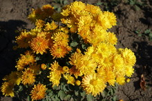 Small Bush Of Amber Yellow Chr...