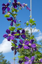 Flowering Purple Clematis Against A Blue Sky