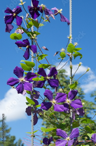 Photo  Flowering purple clematis against a blue sky