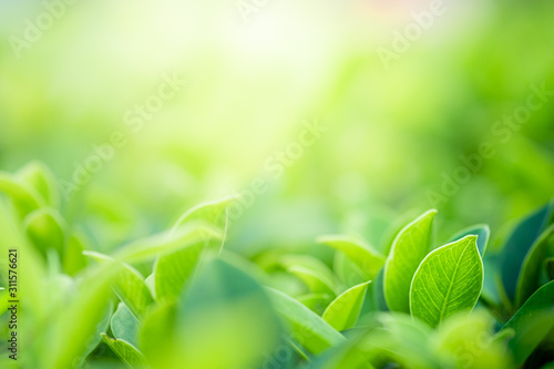 plakat Closeup beautiful view of nature green leaves on blurred greenery tree background with sunlight in public garden park. It is landscape ecology and copy space for wallpaper and backdrop.