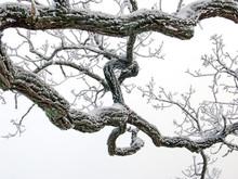 Tree On A White Background, Stockholm,nacka,sweden,sverige