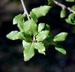 canvas print picture - Korkeiche; Quercus suber