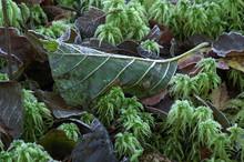 Fresh Leaf In The Garden, Stockholm,sweden,nacka,sverige,europe, Eu