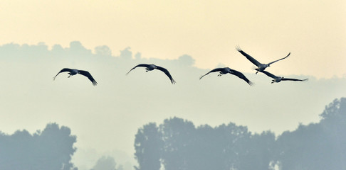 Birds in flight. A silhouettes of cranes in flight. Flock of cranes flies at sunrise. Foggy morning, Sunrise sky background. Common Crane, Grus grus or Grus Communis, big bird in the natural habitat.
