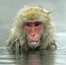Snow Monkey In Natural Hot Spr...