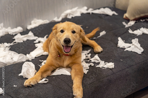 Golden retriever dog playing with toilet paper on messy sofa Canvas Print