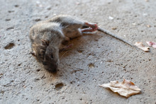 Dead Rat Is On Your Driveway