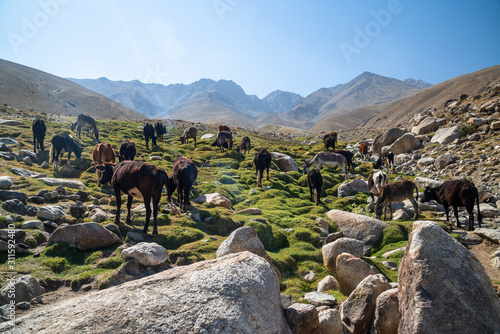 Animals in mountains of Ishkashim, Afghanistan Wallpaper Mural