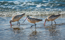 Three Marbled Godwits (Limosa ...