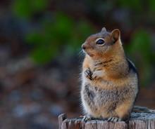 Profile Of Adorable Fat Chipmu...