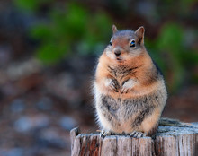 Adorable Fat Chipmunk Resting ...