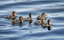 Group Of Cute Mallard Duckling...
