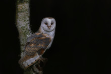 Cute And Beautiful Barn Owl (Tyto Alba) Sitting In A Tree. Dark Black Background. Noord Brabant In The Netherlands. Autumn Forest. Looking In The Camera. Night Shot.