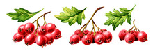 Branch Of Hawthorn Berries Wit...