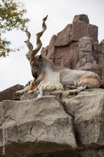 Photo Markhor male at rest on the rock