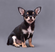 Chihuahua Puppy On Grey Backgr...