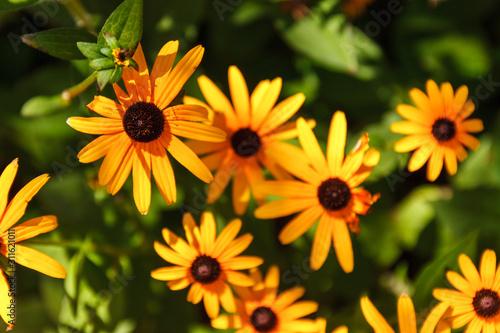 Bright yellow rudbeckia or Black Eyed Susan flowers Tablou Canvas