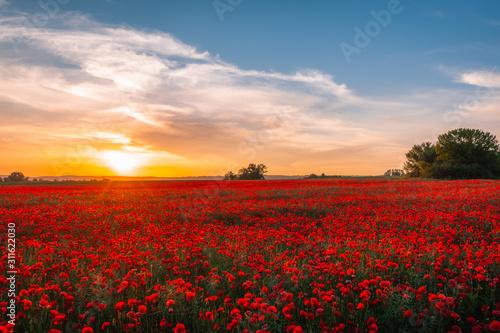 Fototapeta pole maków, zachód słońca, polska, małopolska obraz