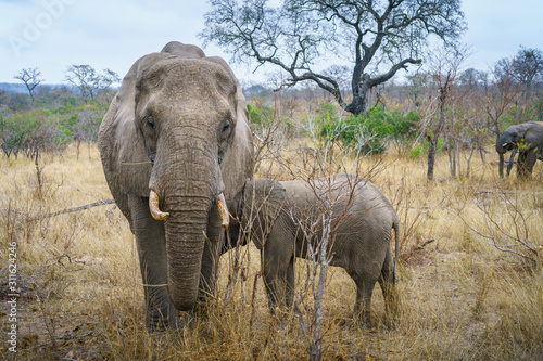 Photo elephants in kruger national park, mpumalanga, south africa