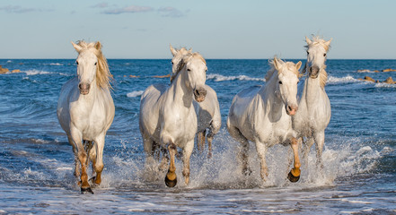 White Camargue horses galloping on the blue water of the sea with splashes and foam. France.