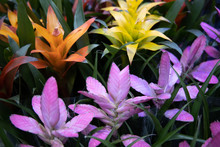 Colorful Bromeliad Flowers In ...