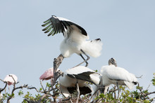 Two American Wood Storks Matin...