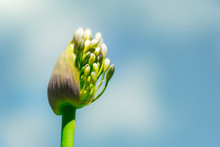 Agapanthus With Blue Sky. Deta...