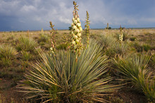 Yucca Plant In The Desert