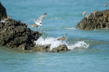 Flock Of Eurasian Whimbrel, Lo...