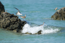 Flock Of Eurasian Whimbrel, Low Angle View, Side Shot, Foraging On The Rock In The Middle Of The Sea Under The Blue Sky, The Coastline Of Southern Thailand.