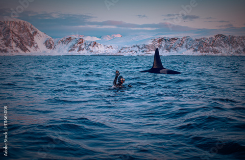 Fotografie, Obraz Happy diver greetings and swimming with orca killer whale in sunset norway fjord