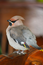 Funny Portrait Of A Young Waxwings Who Looks Curiously
