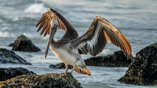 Pelican Wings Open
