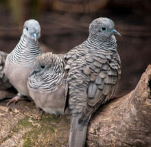 Three Peaceful Doves Perched On A Log