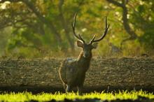 TheJavan RusaorSunda Sambar(Rusa Timorensis) Is A Deer Species That Is Endemic To The Islands Of Java, Bali And Timor (including Timor Leste) In Indonesia. The Javan Rusa Mates Around July.