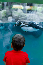 Toddler Looks At A Penguin Swi...